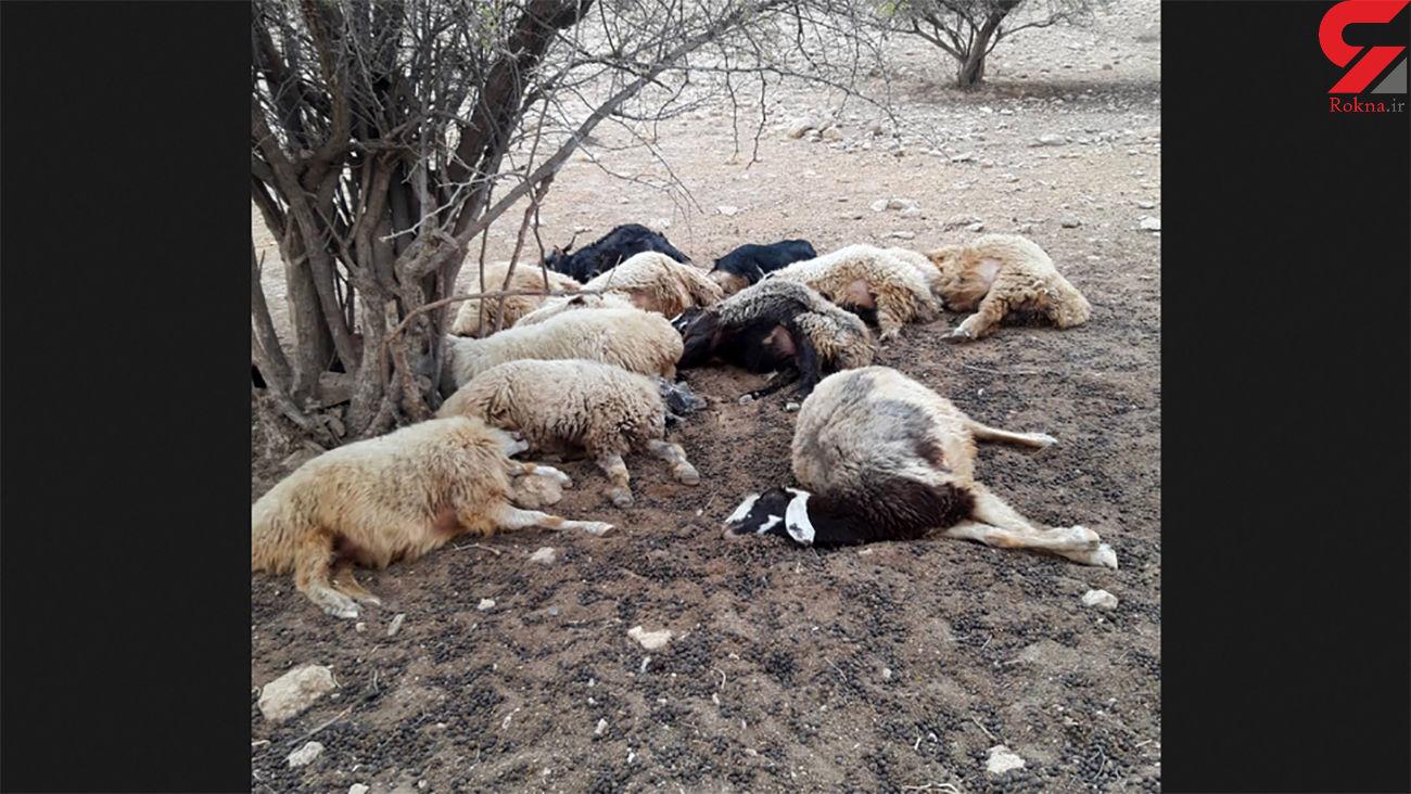 صاعقه 17 گوسفند را تلف کرد / در  چاراویماق  رخ داد