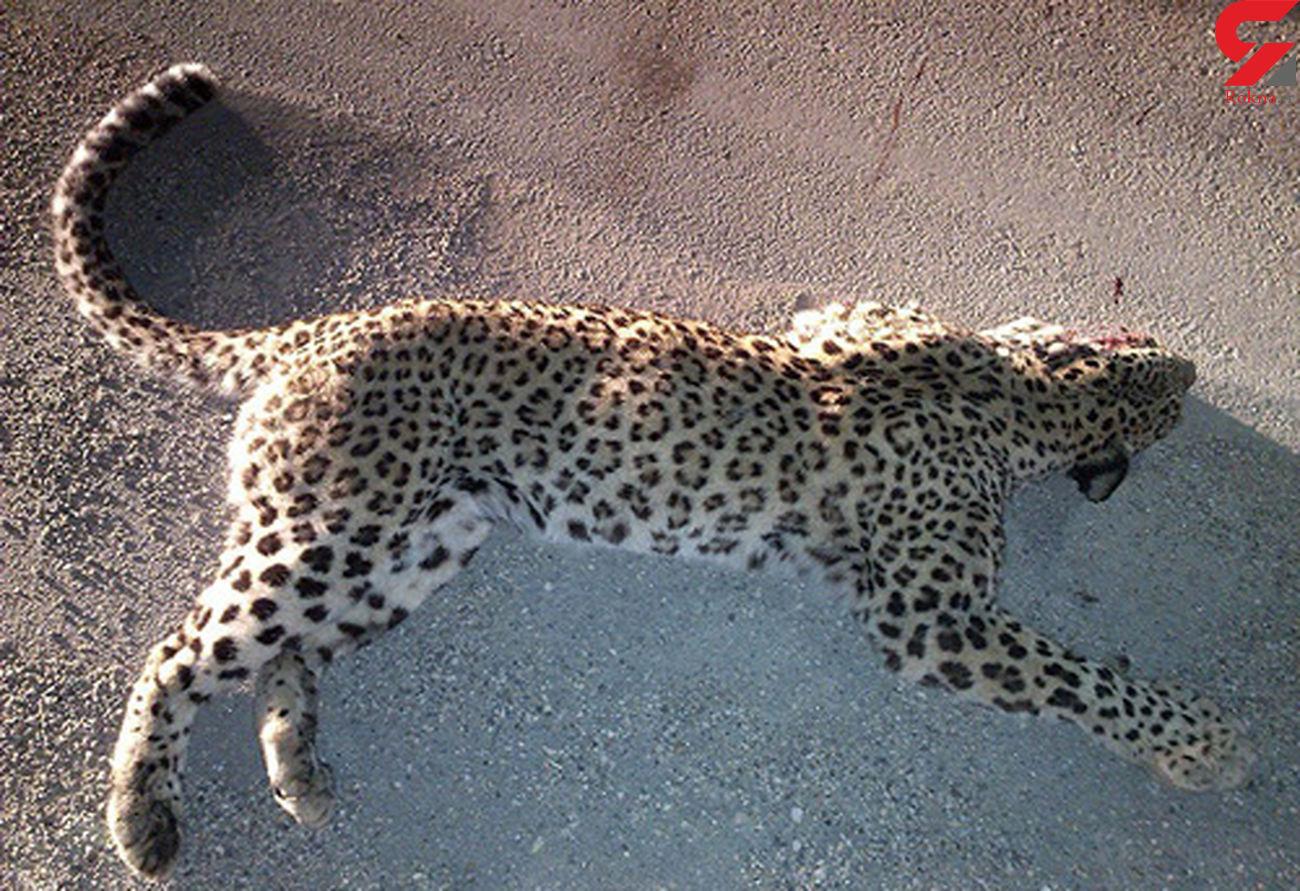 سگ های گله ماده پلنگ ایرانی کشتند + عکس