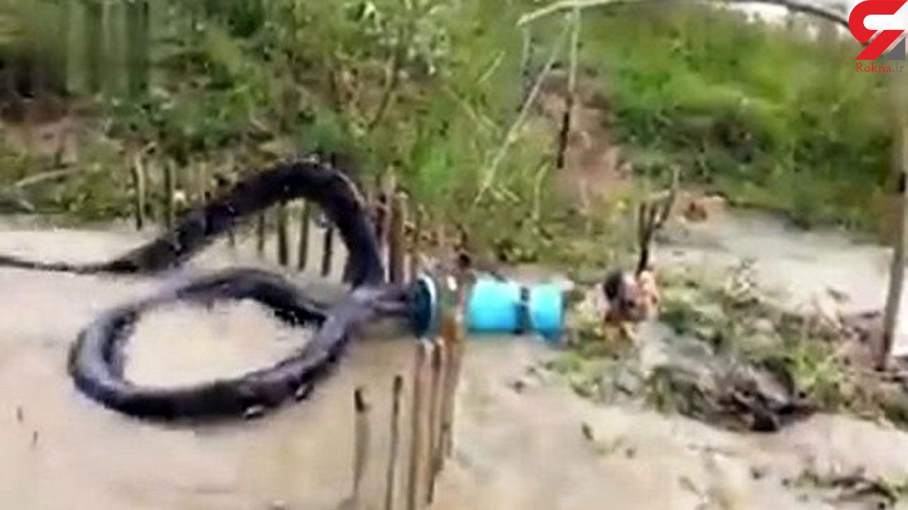 فیلم لحظه شکار بزرگ ترین مار جهان توسط روستائیان / برای مار آناکوندای مرغ طعمه گذاشتند
