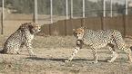تنها یوزپلنگ نر ایرانی دنیا در اسارت! + عکس