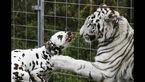 رفاقت جالب و بی سابقه بین حیوانات +عکس های دیدنی