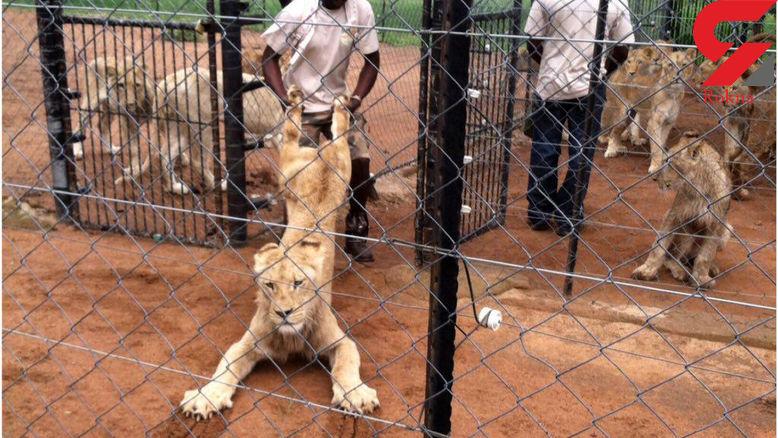 تجاوز به شیرهای وحشی ! + عکس که شیر از دست انسان فرار می کند!