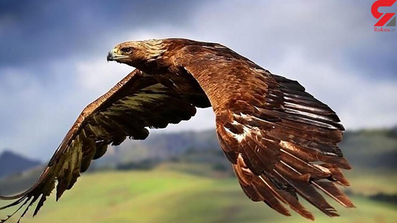 تحویل یک بهله عقاب طلایی به محیط زیست نهاوند