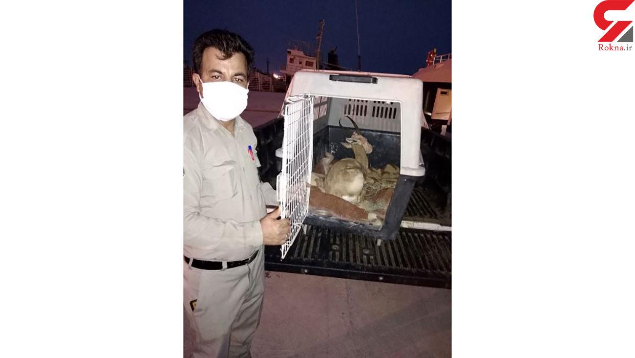 انتقال یک راس آهو به نقاهتگاه اداره کل محیط زیست استان بوشهر