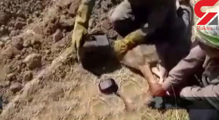 فیلم گیر کردن کله گرگ وحشی داخل قوطی حلبی / در دیواندره رخ داد