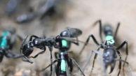 روش درمانی مورچه ها لیس زدن پاهای یکدیگر است