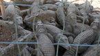 مزرعه پرورش تمساح در کجای ایران است؟ + فیلم