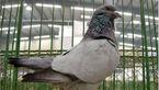 جنجالی که یک کبوتر به پا کرد!