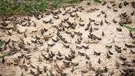 دسته 50 میلیونی ملخ ها در هندیجان خوزستان