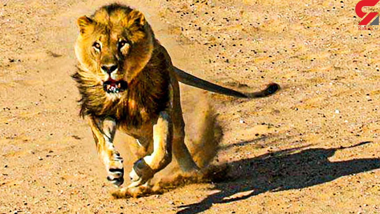 حمله دلخراش شبر گرسنه به یک مرد + فیلم