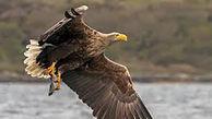 این عقاب نماد غرور است + عکس