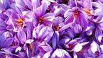 قیمت هر کیلو زعفران به 6 میلیون تومان رسید