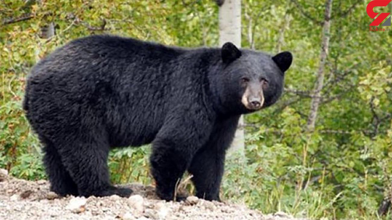 فیلم صحنه ورود خرس قهوه ای به مدرسه در هرمزگان / خرس زندانی شده بود