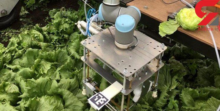 رباتی که کاهو را بسته بندی می کند راهی بازار شد