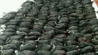 کشف160 قطعه پرنده چنگر شکارشده در فریدونکنار
