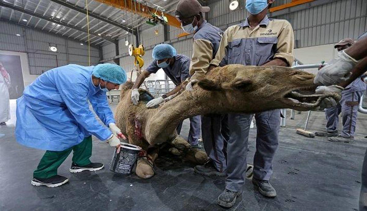 بیمارستان لاکچری شترها در عربستان+تصاویر