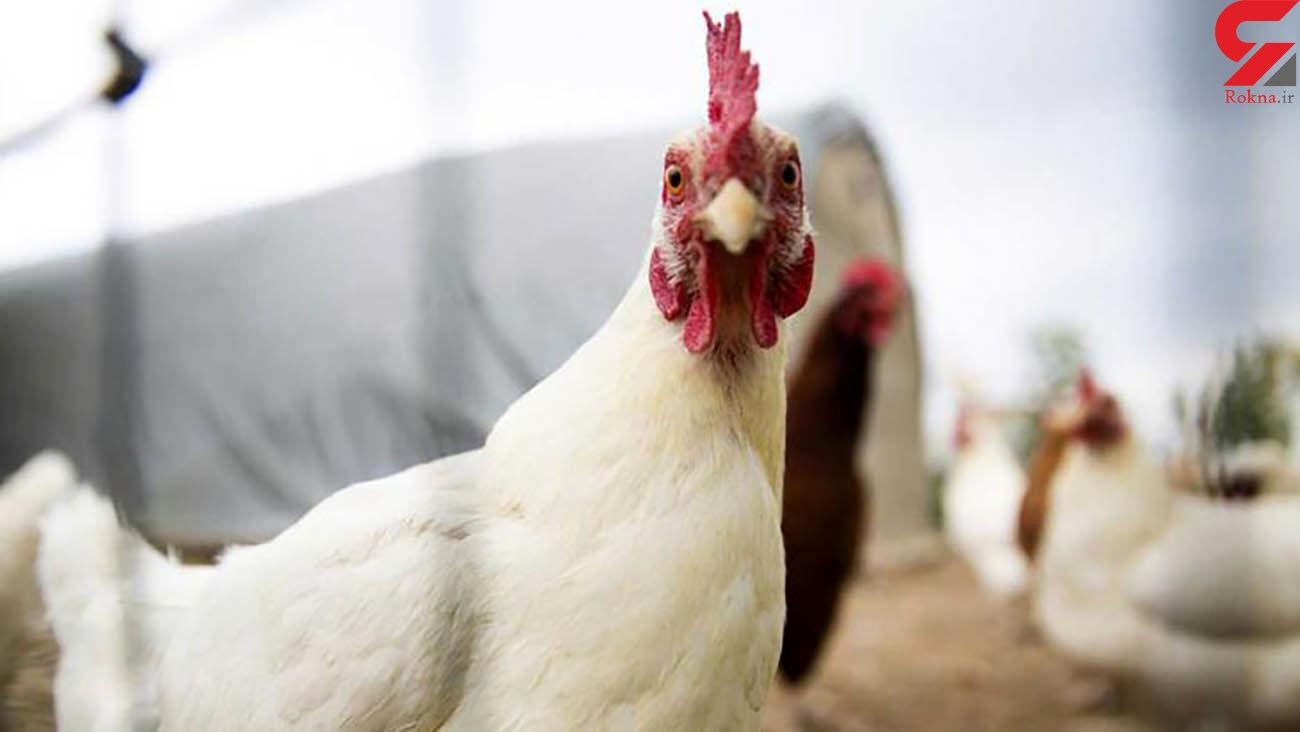 قیمت مرغ افزایشی می شود؟ / وضعیت نهاده ها و قیمت جوجه یکروزه در بازار