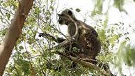 فیلم وحشتناک از مرگ یک زن در حمله میمون + فیلم / هند