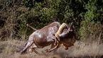 فیلم دیدنی از شکار گوزن یالدار توسط شیر + فیلم