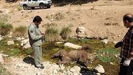 دستگیری عامل کشتار خرس در  مشگینشهر
