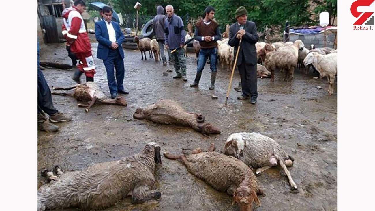 رعد و برق 25  گوسفند را خشک کرد / در گچساران رخ داد