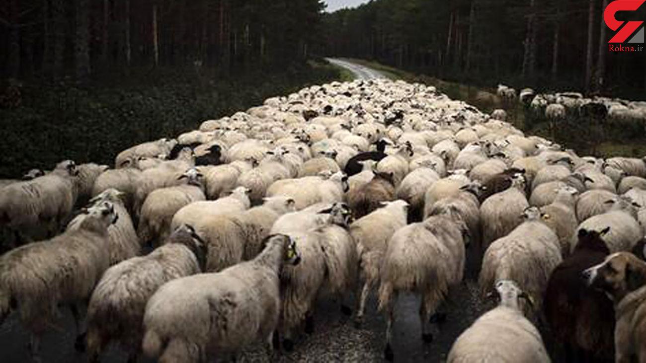 گوسفندان آتش سوزی در جنگل های تهران را مهار می کنند