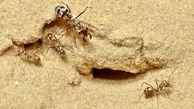 مورچه ای که سریعتر از یوزپلنگ می دود + عکس