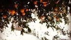 جمع آوری و امحا 115 هزار تن پرتقال یخ زده