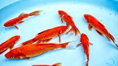 چرا  ماهی قرمزها خطرناک هستند؟