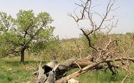 درختان بلوط همچنان در خطر زوال و خشکیدگی در چهارمحال و بختیاری