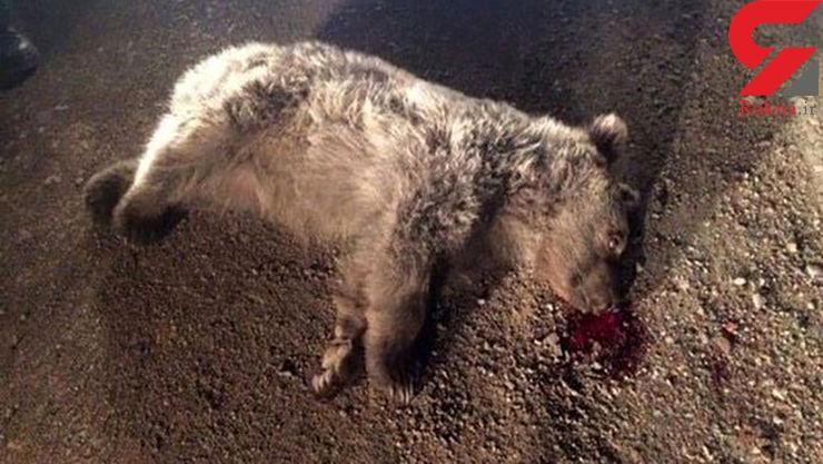 مرگ خرس قهوهای وسط جاده شاهرود+عکس