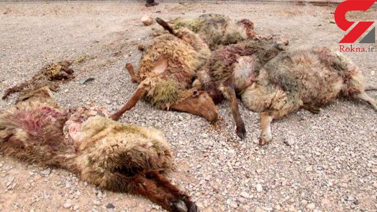 ۴ مصدوم در برخورد با گله گوسفندان