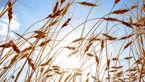 آغاز کشت گندم/پیشبینی تولید بیش از ۱۳ میلیون تن