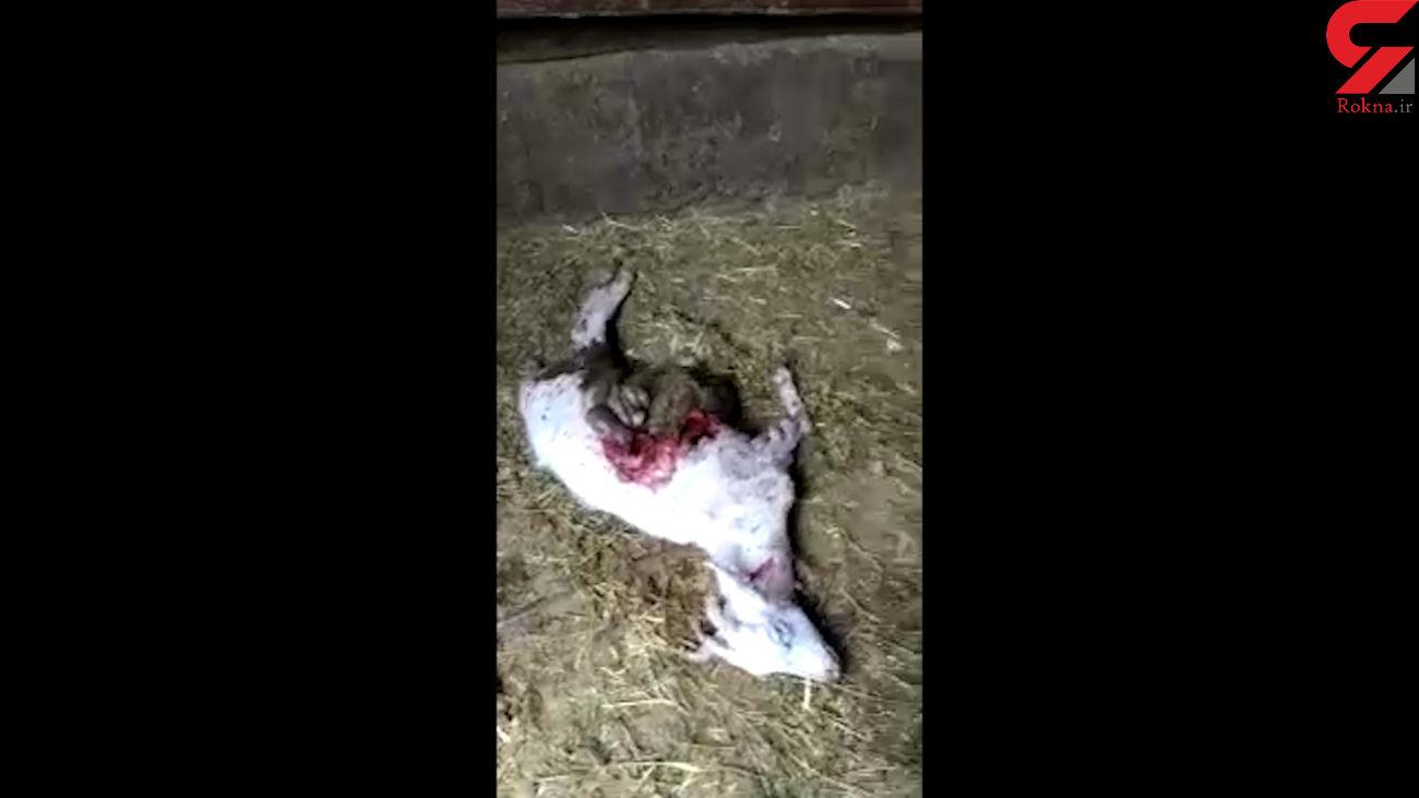 حمله گرگها به یک روستا در زنجان + فیلم