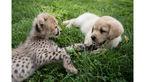 کمک سگ ها به یوزپلنگ های خجالتی!