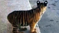 علت عجیب کشته شدن 7 توله ببر در باغ وحش مشهد / یکی را مادرش خورد!