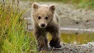 نجات توله خرس قهوهای از استخر در کهگیلویه و بویراحمد