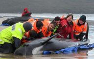تلاش نفسگیر برای نجات ۲۰۰ نهنگ گرفتار