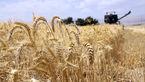 گندم صادراتی کیلویی ۸۰۰ تومان!