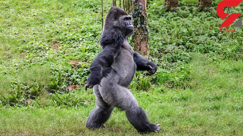 ژست دیدنی گوریل در مقابل بازدید کنندگان باغ وحش+عکس