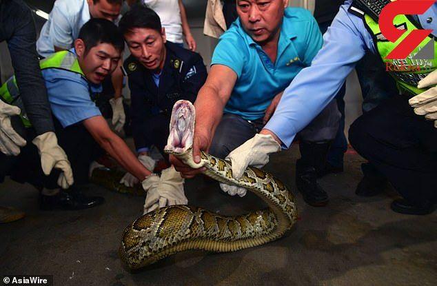 وحشت از مار بزرگ در استخر یک مجتمع! / همه شوکه شدند ! + فیلم / چین