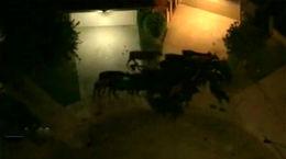 فرار گاوها از کشتاره شهر را به هم ریخت! / فیلم از نمای بالا