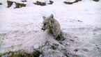 عکسی دردناک از یخ زدن یک روباه