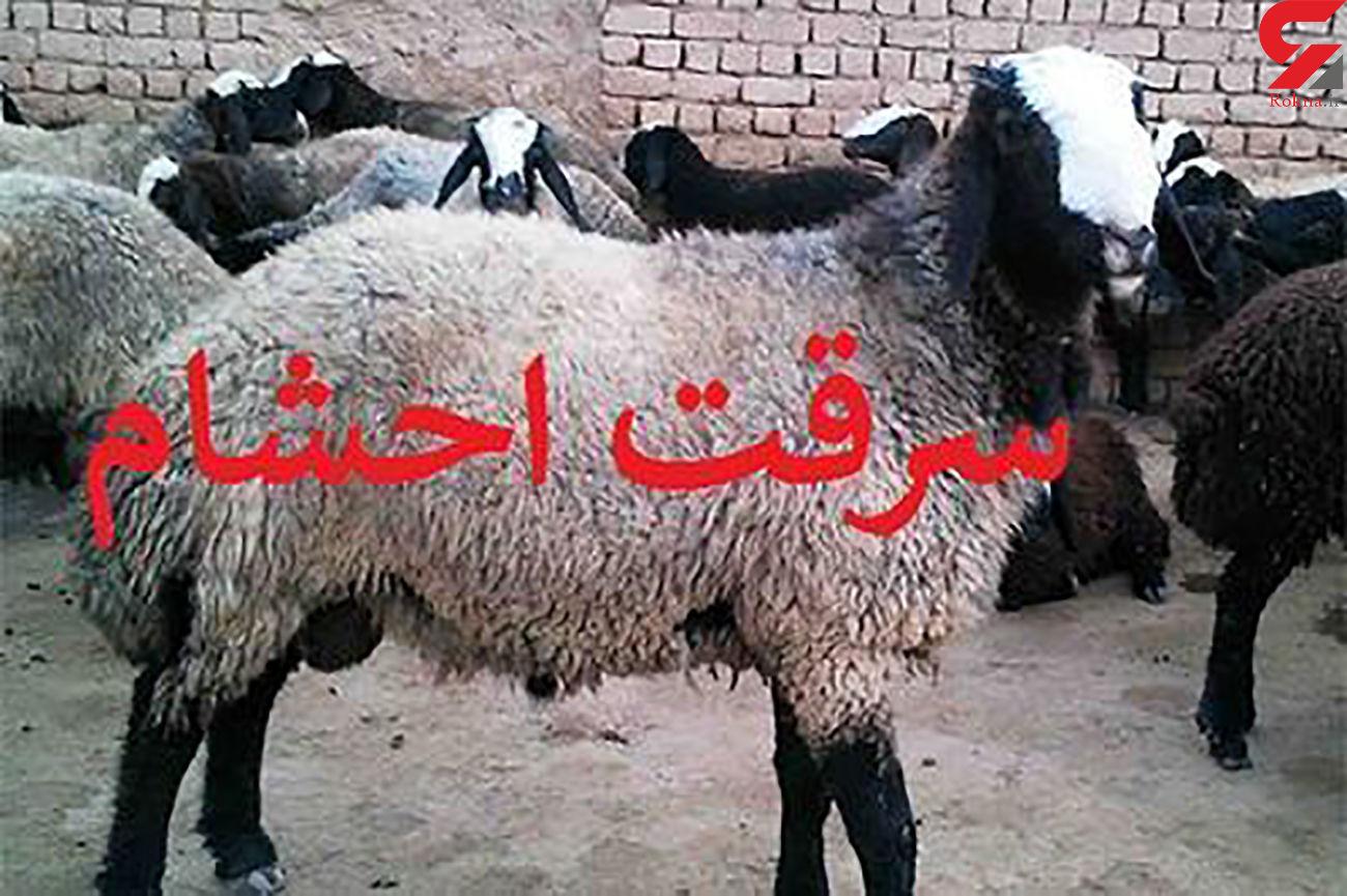 کشف 189راس گوسفند قاچاق در اقلید