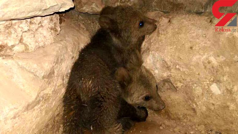 جنب و جوش 2 توله خرس پس از رها سازی در طبیعت خوزستان + فیلم