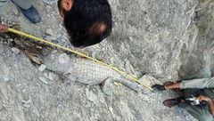 تلف شدن یک سر تمساح در کنار رودخانه سرباز +عکس