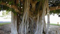 درخت اسرارآمیز همیشه سبز+عکس