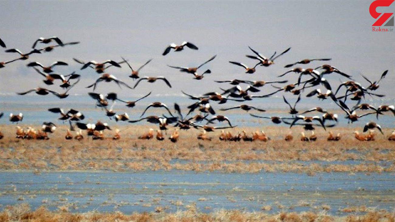 بیش از 100هزار پرنده مهاجر در تالاب هورالعظیم سرشماری شدند