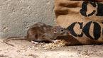 ضربه سنگین موش ها به کشاورزان استرالیا + فیلم