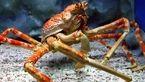 خرچنگ عنکبوتی خوشمزه ترین غذای ژاپنی ها+عکس